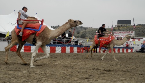 Camel races, Virginia City, Nevada, NV