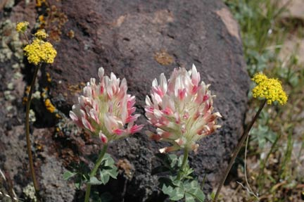 Large-headed clover and buckwheat