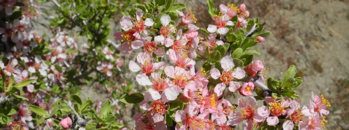 Desert peach blooming along the Ballardini Ranch Trail