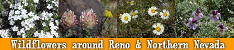 Reno area wildflowers pictures